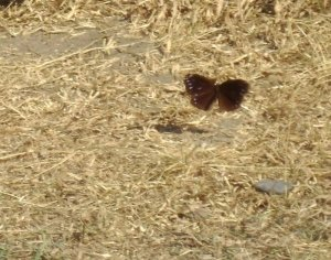 A purple crow butterfly in flight.