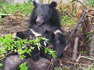 A Formosan black bear with two cubs.