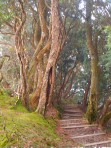 The trunks of yew trees along the trail.