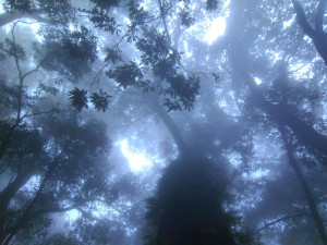 Looking up at a forest canopy with lots of mist