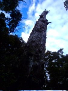 An old cypress trunk reaches into the sky.