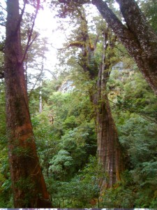 My own photo of the great old red cypress tree