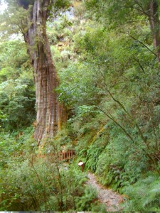 A photo of the giant red cypress tree