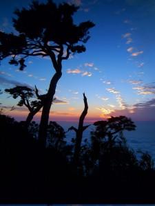 Hemlock trees as the sun has jst set below a sea of clouds
