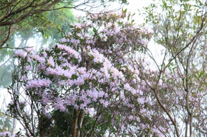 A picture of Taiwan Azaleas