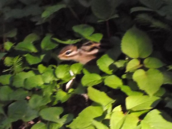 We are in the shaded understory of a forest, with little patches of yellow sunlight reaching through to the green plants covering the ground. In one patch of sunlight in the center of the photo, a chipmunk is cautiously poking out its cute little head. We see its profile, with its nose facing the left of the photo.