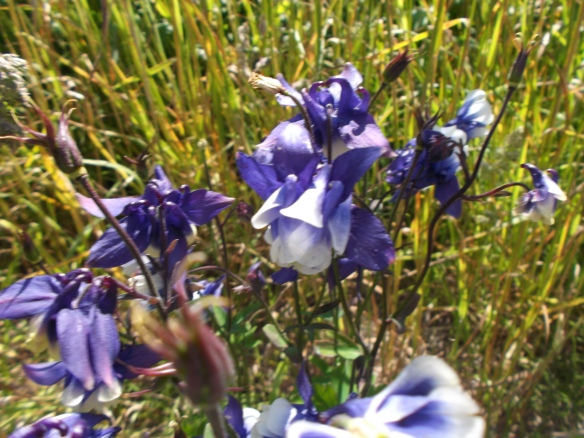 This is a close-up of some bell-shaped purple wildflowers which have an inner white part and outer purple petals radiating outwards.