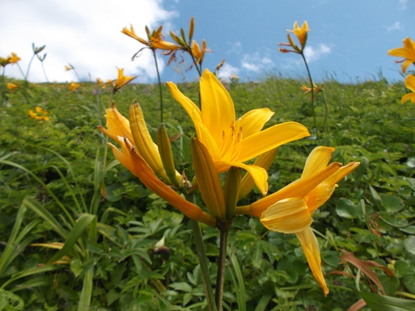 Closest to the viewer, we see a closeup of three orange lily flowers. The one in the center is open and facing skywards, while the two on the sides are closed. Further away, we see more such flowers. Beyond that, in the upper-left, is clouds, and in the upper-center and upper-right is a blue sky.