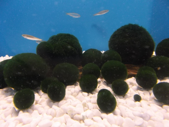 In a tank with a blue background, we see white pebbles at the bottom, spherical balls of green algae called marimo in the center, and three small silvery fish above the algae balls.