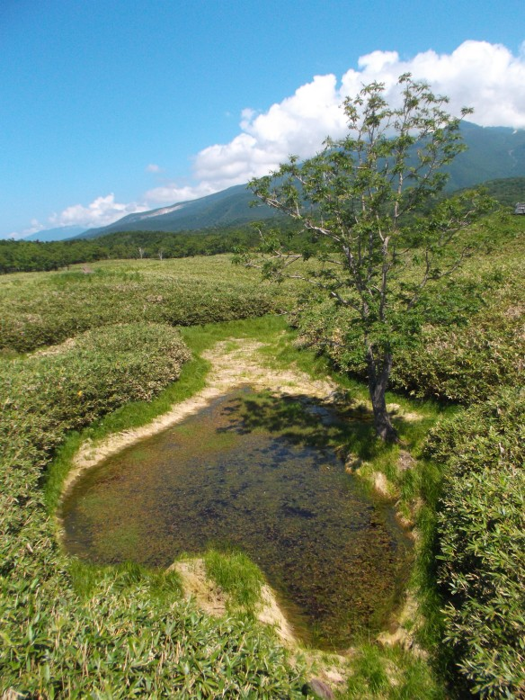We see a clear blue sky above.  On the upper left, we see the Shiretoko mountains, green, with clouds blanketing the top.  In the foreground on the upper right, we see a tree, and in the lower part of the picture we see a black pond with green plants growing on top, all surrounded by bear bamboo.