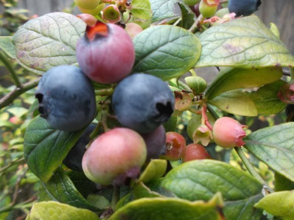 A closeup picture featuring a cluster of four large blueberries, two blue, two red, amid many blueberry leaves.