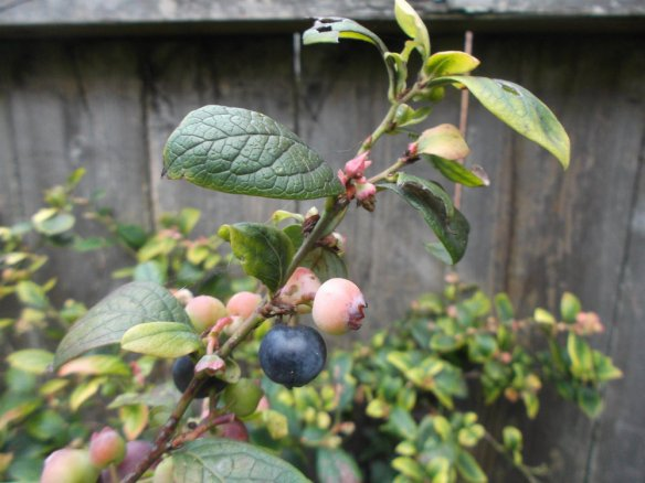 A blueberry stalk with leaves, a few pink flower buds, some pink unripe berries, a one blue, almost ripe berries.