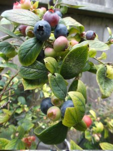 A blueberry stalk with about five almost-ripe berries, many leaves, and about seven unripe berries.
