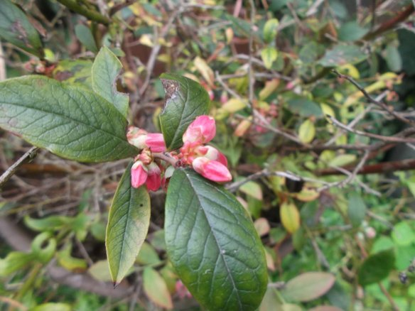 About four green blueberry leaves with a cluster of tight, hot pink flowers in the center.