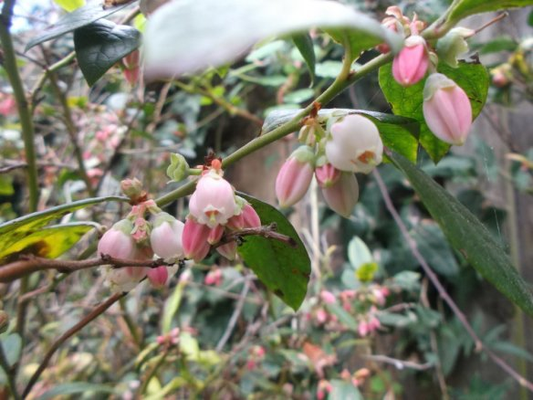 This photo shows a bunch of blueberry leaves and many flowers which range from white to pink, in delicate little bell shapes.