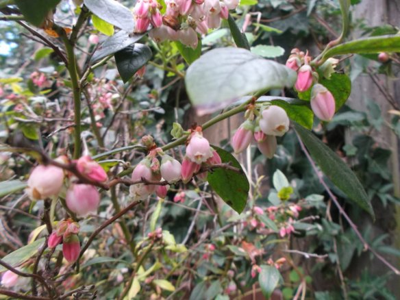 A large cluster of blueberry leaves, with many white-to pink tiny bell shaped flowers hanging down from the branches
