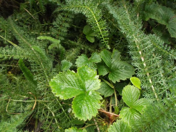 The woodland strawberry is making a comeback, thanks to the December rains, and the yarrow is doing fantastic.
