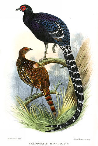A drawing showing a male mikado pheasant (top, mostly dark blue, with a red face, and long, black & white tail feathers) and a female mikado pheasant below (brown, shorter tail feathers).