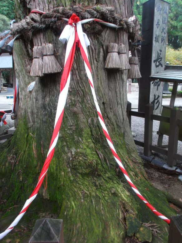 We see the trunk of the tree, which has a thich rope tied around it, and a second, slender rope which is a twist of red and white colors.  The base of the tree is covered with green moss.