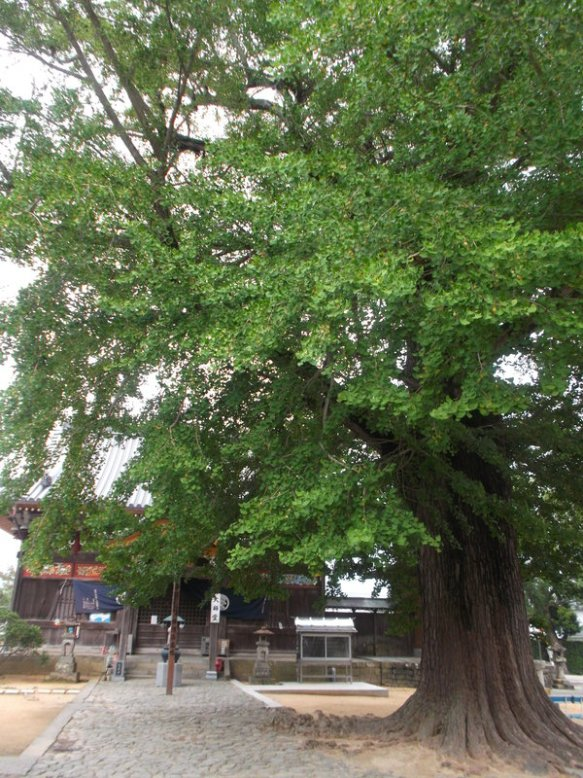 A very tall, old ginko tree almost completely blocks the view of the temple building behind