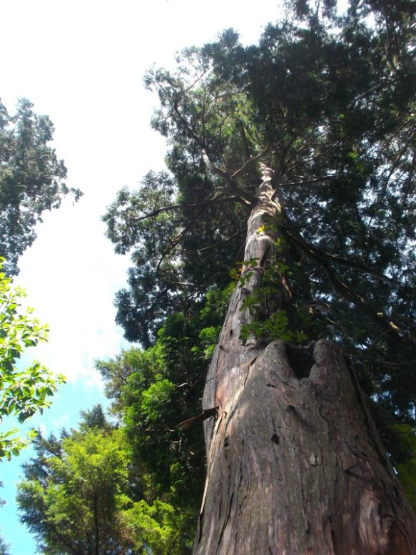 We look up at a really, really, really tall cedar tree
