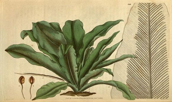 A drawing of bird's nest fern.