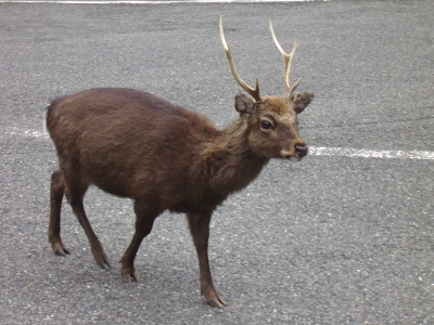 Deer near the entrance of Yakusugiland, Yakushima, Japan.  Photo by Sara K.