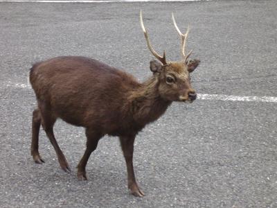 Deer near the entrance of Yakusugiland, Yakushima, Japan.  Photo by Sara K.