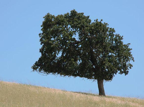 """Lone tree on a summer hillside"" by Jon 'ShakataGaNai' Davis. Licensed under CC BY-SA 3.0 via Wikimedia Commons."